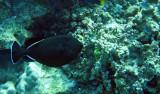 Balistidae - Ebony Triggerfish - Melichthys niger -  Similan Islands Marine Park Thailand (3).JPG