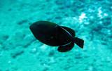 Balistidae - Ebony Triggerfish - Melichthys niger -  Similan Islands Marine Park Thailand (4).JPG