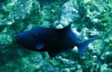 Balistidae - Odonus niger - Redtooth Triggerfish - Similan Islands Marine Park Thailand (2).JPG