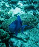 Balistidae - Odonus niger - Redtooth Triggerfish - Similan Islands Marine Park Thailand (3).JPG