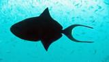 Balistidae - Odonus niger - Redtooth Triggerfish - Similan Islands Marine Park Thailand (4).JPG