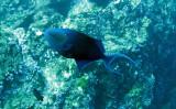Balistidae - Odonus niger - Redtooth Triggerfish -Similan Islands Marine Park Thailand (1).JPG