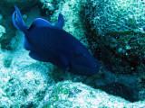 Balistidae - Odonus niger - Redtooth Triggerfish -Similan Islands Marine Park Thailand (3).JPG