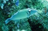 Balistidae - Sufflamen bursa - Pallid Triggerfish - Similan Islands Marine Park Thailand (4).JPG
