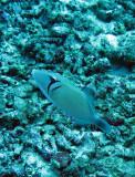 Balistidae - Sufflamen bursa - Pallid Triggerfish - Similan Islands Marine Park Thailand.JPG
