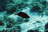 Balistidae - Sufflamen chrysopterus - Black Triggerfish - Similan Islands Marine Park Thailand.JPG