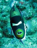Balistidae - Triggerfish - Clown Triggerfish - Balistoides conspicullum - Similan Islands Marine Park Thailand (2).JPG