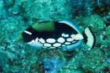 Balistidae - Triggerfish - Clown Triggerfish - Balistoides conspicullum - Similan Islands Marine Park Thailand (3).JPG