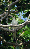 Bird - Imperial Pigeon - Similan Islands Marine Park Thailand (3).JPG