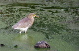 Bird - Java Pond Heron - Similan Islands Marine Park Thailand.JPG