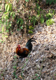 Bird - Junglefowl - Similan Islands Marine Park Thailand (2).JPG