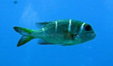 Bream - Humpnose Big-eye Bream - Monotaxis grandoculis - Similan Islands Marine Park Thailand.JPG