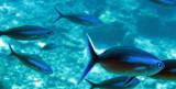 Caesionidae - Caesio species - Fusilier Species - Similan Islands Marine Park Thailand (2).JPG