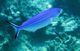Caesionidae - Pterocaesio marri - Marr's Fusilier - Similan Islands Marine Park Thailand (2).JPG