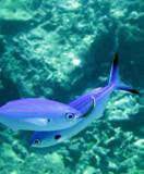 Caesionidae - Pterocaesio marri - Marr's Fusilier - Similan Islands Marine Park Thailand (4).JPG