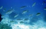 Caesionidae - Pterocaesio species - Fusilier Species - Similan Islands Marine Park Thailand (1).JPG