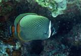 Chaetodontidae - Chaetodon collare - Vagabond Butterflyfish - Similan Islands Marine Park Thailand (2).JPG