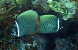 Chaetodontidae - Chaetodon collare - Vagabond Butterflyfish - Similan Islands Marine Park Thailand (4).JPG