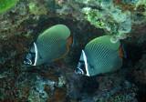 Chaetodontidae - Chaetodon collare - Vagabond Butterflyfish - Similan Islands Marine Park Thailand (5).JPG