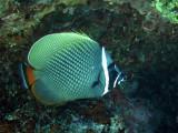 Chaetodontidae - Chaetodon collare - Vagabond Butterflyfish - Similan Islands Marine Park Thailand (6).JPG