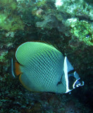 Chaetodontidae - Chaetodon collare - Vagabond Butterflyfish - Similan Islands Marine Park Thailand (7).JPG