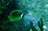 Chaetodontidae - Chaetodon lunula - Racoon Butterflyfish - Similan Islands Marine Park Thailand.JPG