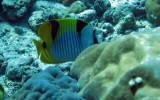 Chaetodontidae - Chaetodon ulietensis - Doublesaddle Butterflyfish - Similan Islands Marine Park Thailand.JPG