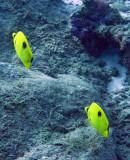 Chaetodontidae - Chaetodon unimaculatus - Teardrop Butterflyfish - Similan Islands Marine Park Thailand (2).JPG