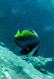 Chaetodontidae - Heniochus singularis - Singular Bannerfish - Similan Islands Marine Park Thailand.JPG
