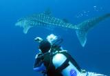 Condrichthyes - Whale Shark - Rhincodon typus - Similan Islands Marine Park Thailand Koh Bon (1).JPG