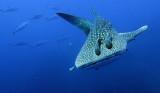 Condrichthyes - Whale Shark - Rhincodon typus - Similan Islands Marine Park Thailand Koh Bon (3).JPG