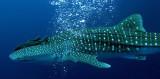 Condrichthyes - Whale Shark - Rhincodon typus - Similan Islands Marine Park Thailand Koh Bon (5).JPG