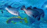 Haemulidae - Plectorhinchus gibbosus - Brown Sweetlips - Similan Islands Marine Park Thailand (2).JPG