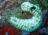 Holothuroid - Sea Cucumber - Similan Islands Marine Park Thailand (1).JPG