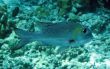 Lethrinidae - Bream Species - Similan Islands Marine Park Thailand.JPG