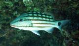 Lutjanidae - Lutjanus decussatus - Chequered Snapper - Similan Islands Marine Park Thailand (2).JPG