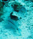 Mullidae - Parupeneus barberinus - Dash-dot Goatfish - Similan Islands Marine Park Thailand (2).JPG
