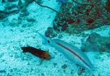 Mullidae - Parupeneus barberinus - Dash-dot Goatfish - Similan Islands Marine Park Thailand (5).JPG