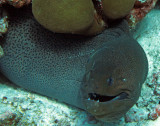 Muraenidae - Giant Moray - Gymnothorax javanicus - Similan Islands Marine Park Thailand (2).JPG