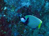 Pomacanthidae - Pomacanthis imperator - Emperor Angelfish - Similan Islands Marine Park Thailand.JPG