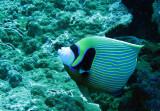 Pomacanthidae - Pomacanthus imperator - Emperor Angelfish - Similan Islands Marine Park Thailand (3).JPG