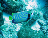 Pomacanthidae - Pomacanthus imperator - Emperor Angelfish - Similan Islands Marine Park Thailand (5).jpg