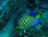 Pomacanthidae - Pygoplites diacanthus - Regal Anglefish - Similan Islands Marine Park Thailand.JPG