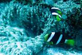 Pomacentridae - Clark's Anemonefish - Amphiprion clarkii - Similan Islands Marine Park Thailand (10).JPG
