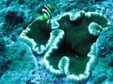 Pomacentridae - Clark's Anemonefish - Amphiprion clarkii - Similan Islands Marine Park Thailand (13).JPG