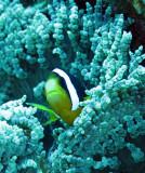 Pomacentridae - Clark's Anemonefish - Amphiprion clarkii - Similan Islands Marine Park Thailand (7).JPG