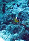 Pomacentridae - Clark's Anemonefish - Amphiprion clarkii - Similan Islands Marine Park Thailand (9).JPG