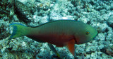 Scaridae - Scarus species - Parrotfish species - Similan Islands Marine Park Thailand (2).JPG