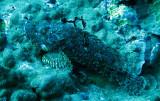 Scorpaenidae - Scorpaenopsis venosa - Raggy Scorpion Fish - Similan Islands Marine Park Thailand (1).JPG