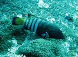 Serranidae - Peacock Rockcod - Cephalopholis argus - Similan Islands Marine Park Thailand.JPG